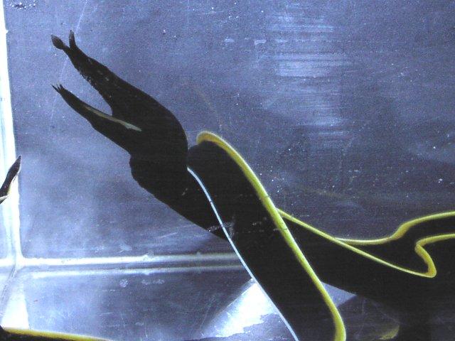 Rhinomuraena quaesita