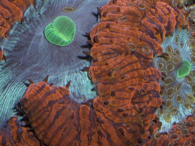 ヒラムシ on オオタバサンゴ