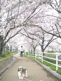 coron-sakura.jpg