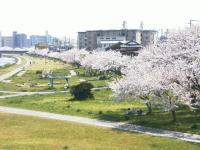 夢前川の桜
