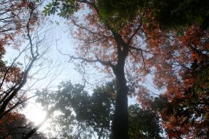 見上げるとどんぐりの木