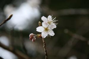 サクランボのお花