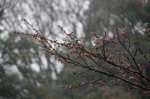 桜さんしょんぼり