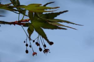 イロハモミジさんのお花