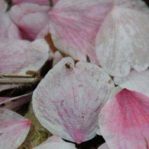 アリさんのお花見