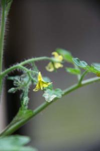 ミニトマトのお花