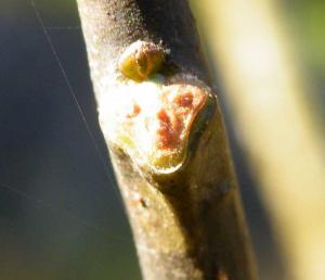 ネムノキの葉痕