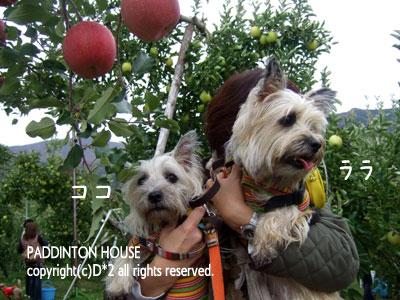 リンゴ狩4