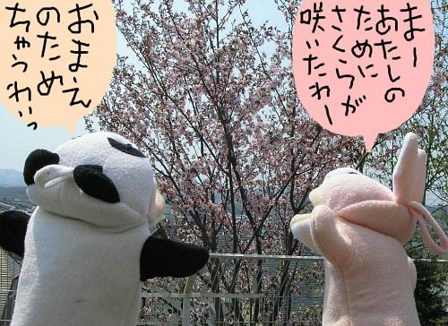 sakura-pi-pa-.jpg