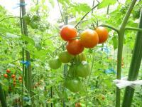 うちのミニトマト