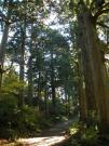 箱根杉並木