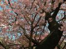 樹齢100年以上の超桜!!