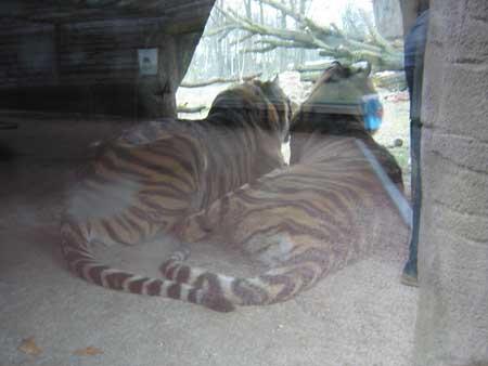 0211_tigers.jpg