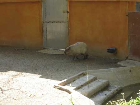 090416_capibara.jpg