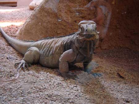 090416_iguana.jpg