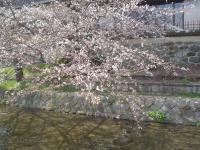 桜 はじめました