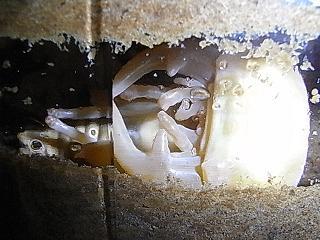 グラン41蛹-1