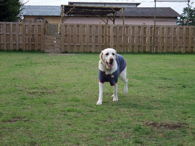 盲導犬セピア