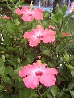 090628yoron hibiscas_0907~01