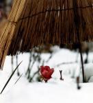 雪の日の寒牡丹