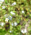 きゅうり草