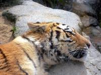 20080114_tiger.jpg