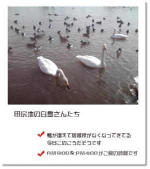 田尻池の白鳥