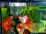 冷凍赤虫を食べる金魚たち