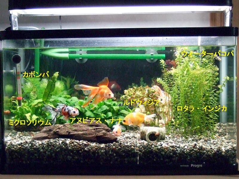 第一水槽(金魚水槽)