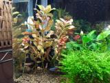 現在の赤系水草