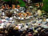 石巻貝 ヤマトヌマエビ コリドラス