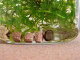 石巻貝とサブストラットプロ