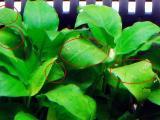 カワコザラガイによる水草の食害