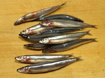 キビナゴいかだ串 - 魚料理と簡単レシピ