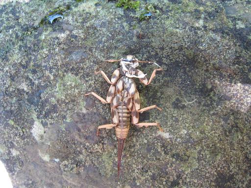 水生昆虫の