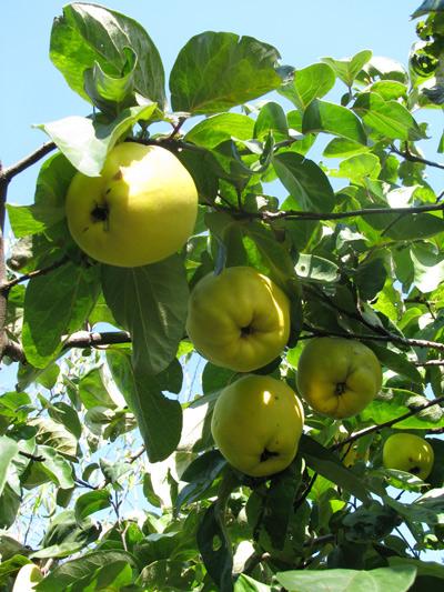 イタリア フィレンツェ カーサパルミラ リンゴ
