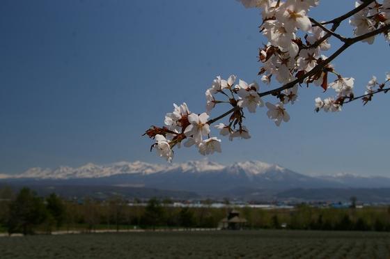 ファーム富田の桜
