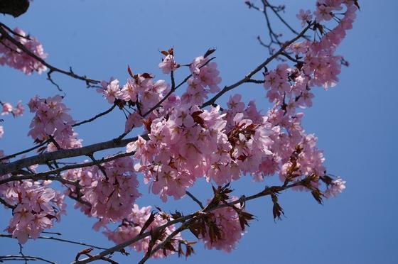 ファーム富田の桜2