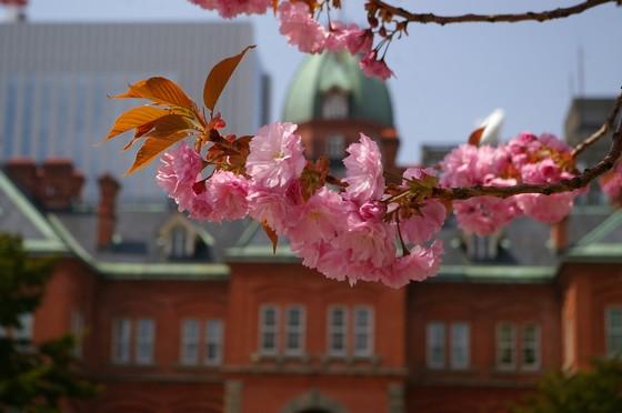 赤レンガ前の八重桜