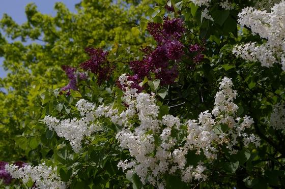 紫と白のライラック