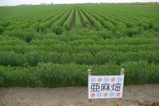 亜麻の花畑