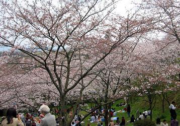 塚山公園の桜その2