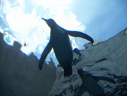 旭山ペンギン 2