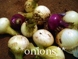 onion09a.jpg