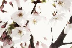 sakura kakou (1)