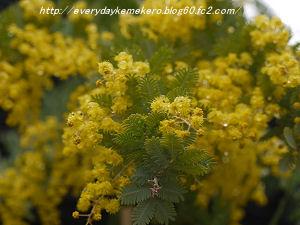 mimoza01.jpg