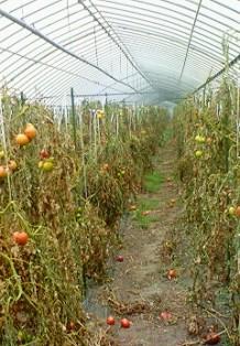 トマト片付け2