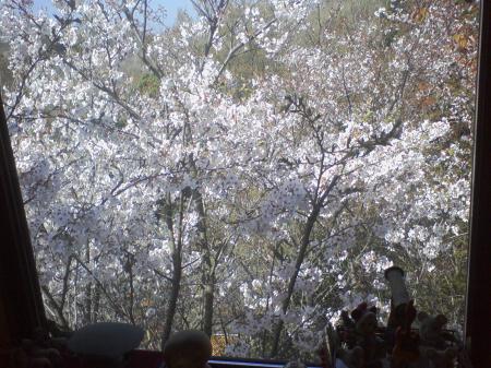 窓の桜満開4月9日より