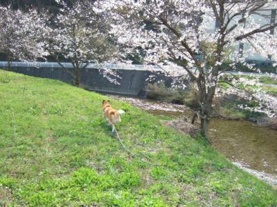 やっと桜咲きました~