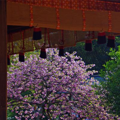 平野神社090401_edited-1